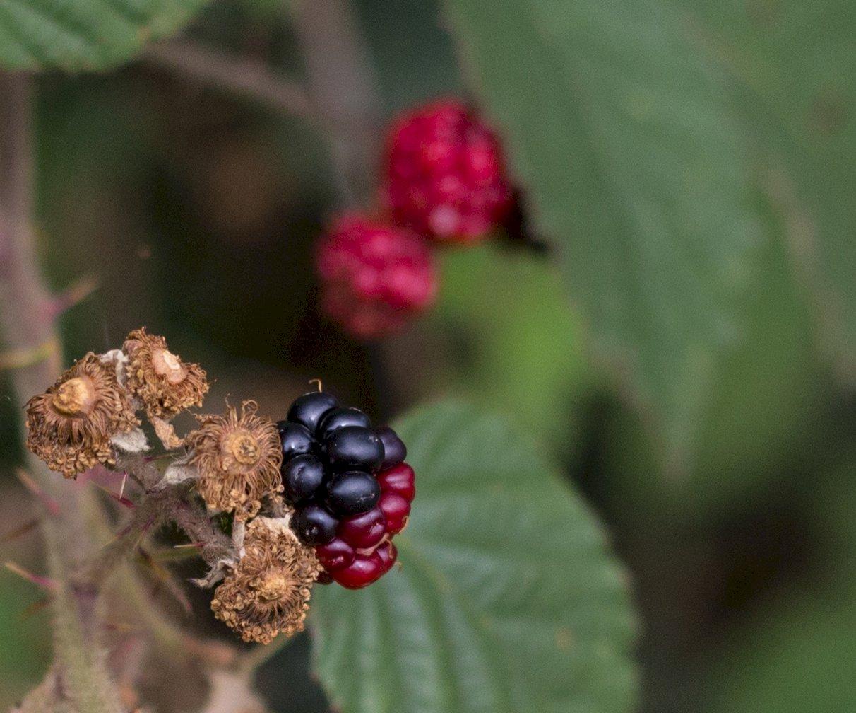 Hedgerows BRAMBLES FRUIT