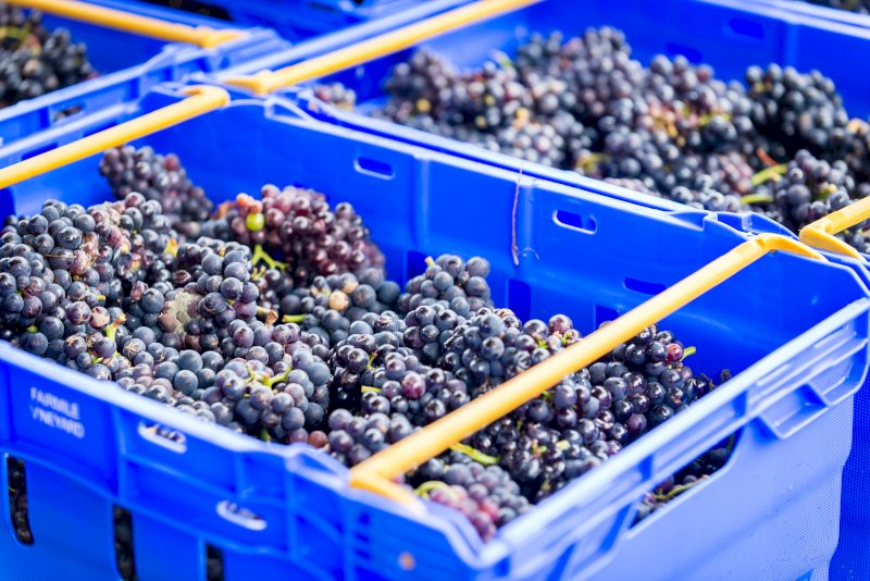 Flourishing Fizz Fairmile Vineyard Harvest Grapes