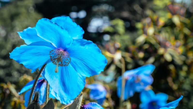 Bhutan Kingdom of the Sky Himalayan Blue Poppy
