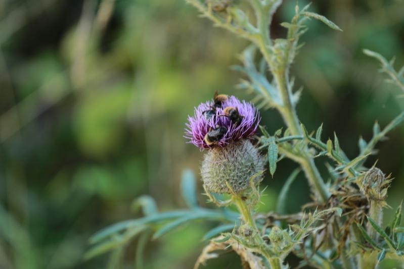 Biodiversity Offsetting Thistle