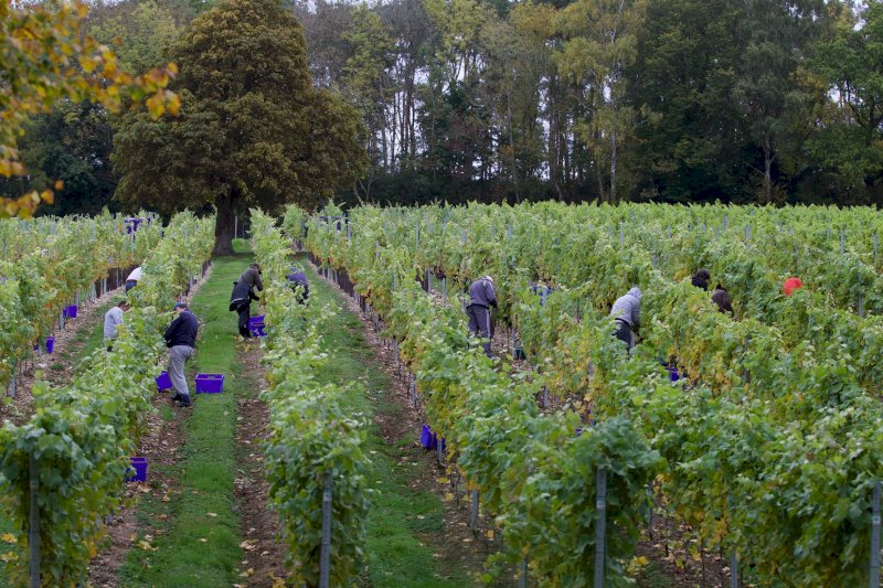 Flourishing Fizz Fairmile Vineyard Harvest