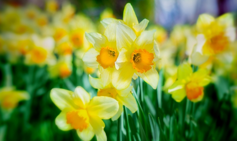 The Big Bang Spring Flowers Daffodils