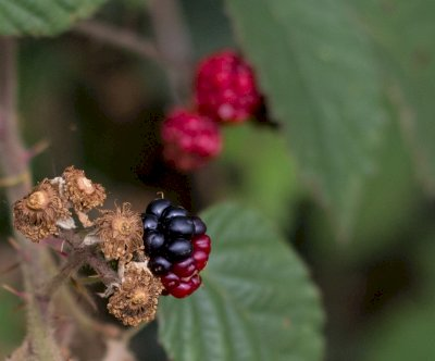 Hedgerows BRAMBLES FRUIT