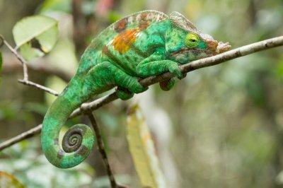Where the grass is greener Mediterranean chameleon