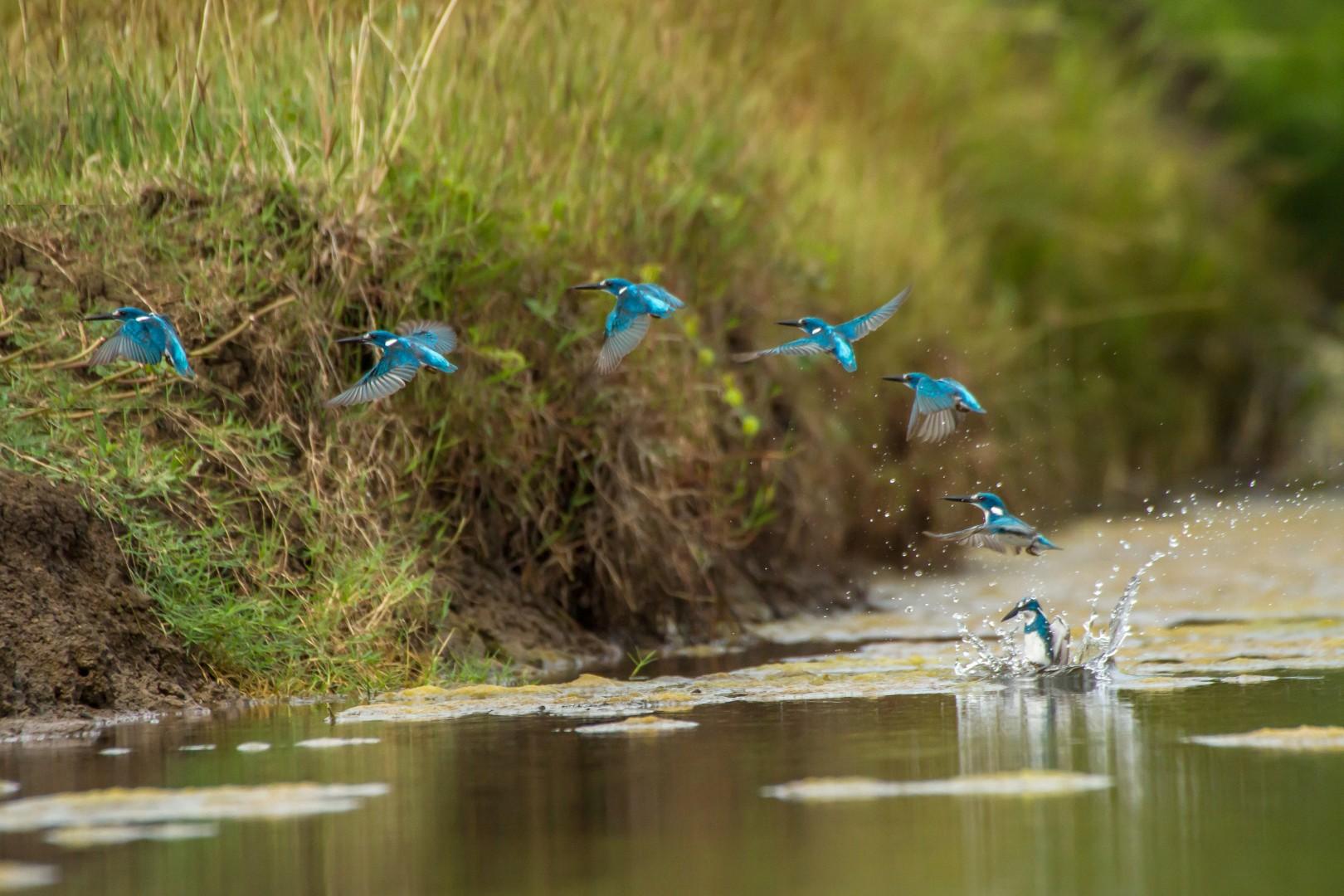 The Big Bang Small Blue Kingfishers Spring